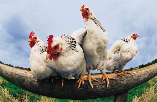 Chicken Pet Quote: Crazy Chicken Sayings
