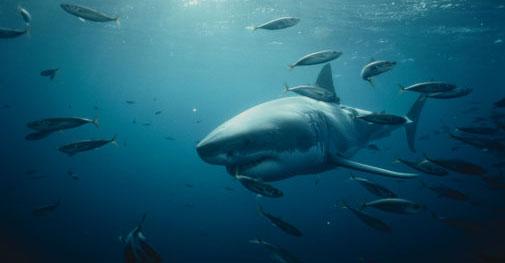Tracking Great White Sharks | POPSUGAR Pets