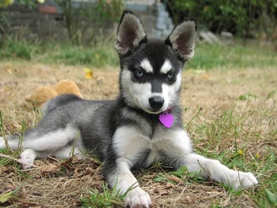 Dog Alaskan Klee Kai