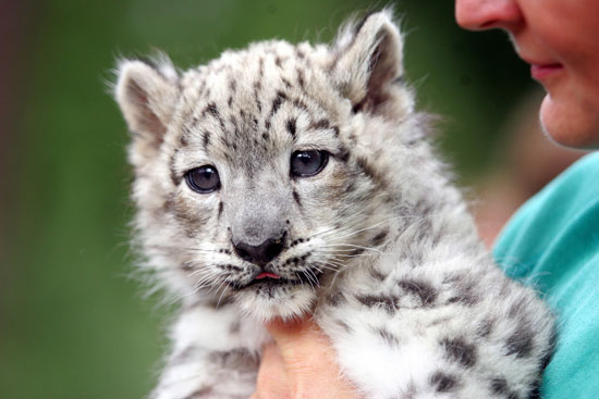 The Scoop: Meet Emba, a Baby Snow Leopard!