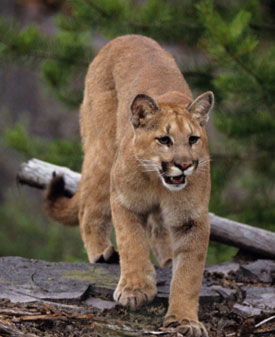 mountain-lion.jpg