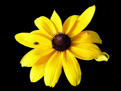 Black Eyed Susan - My Frist Name is Susan