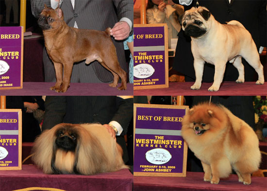 Group Toy Dogs : Westminster winners toy group popsugar pets