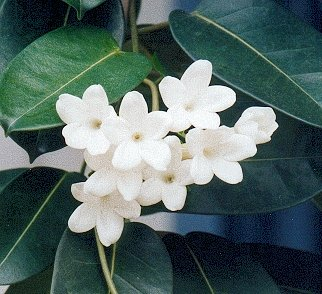 Jasmine Flower Picture on Flowers 101  Stephanotis