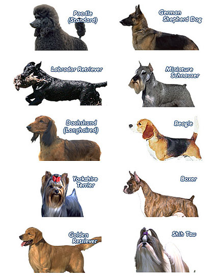 ... releases an ordered list of the top 10 most popular dog breeds in the