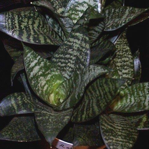 ce planta este asta??? (identificare plante ) ! Sanseviera