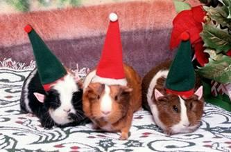 Three of the five guinea piggles at Christmastime.