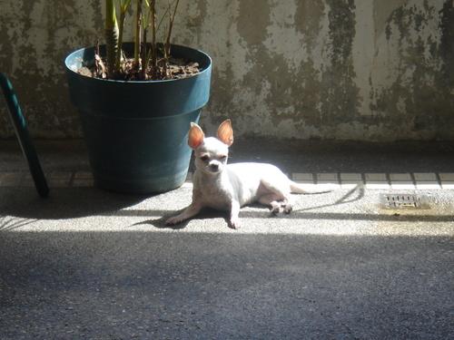 My Sunbathing Chihuahua